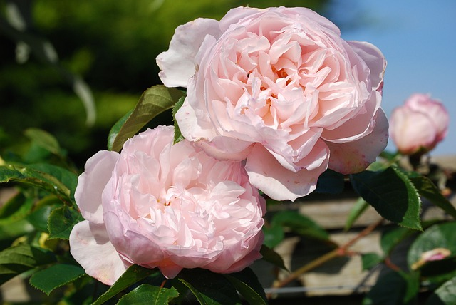 Free roses pink flower beautiful fragrance