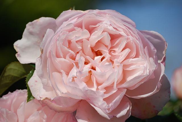 Free rose pink flower beautiful fragrance