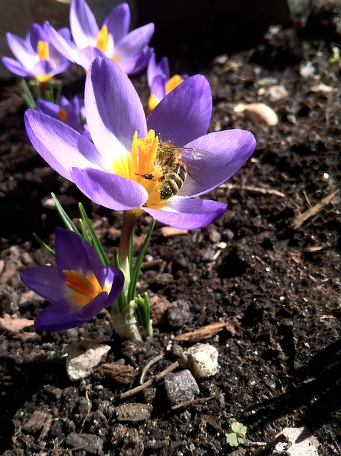 Free crocus spring flower purple close bee insect