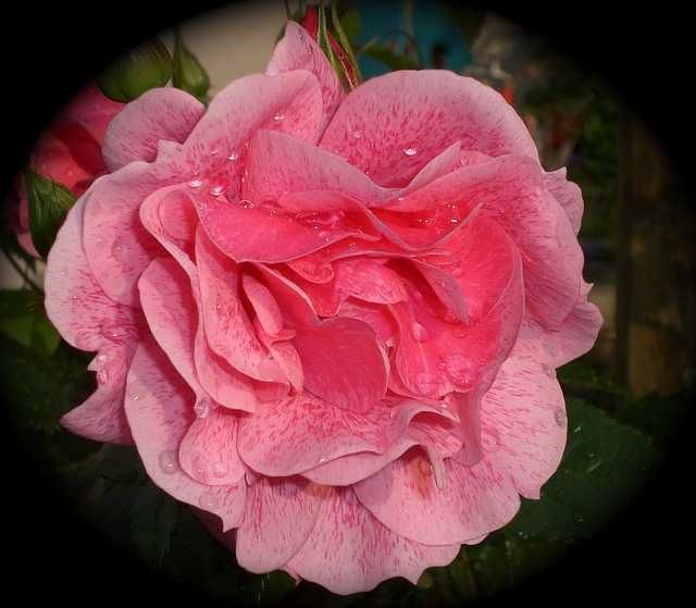 Free rose rose bloom beauty romantic pink flora garden