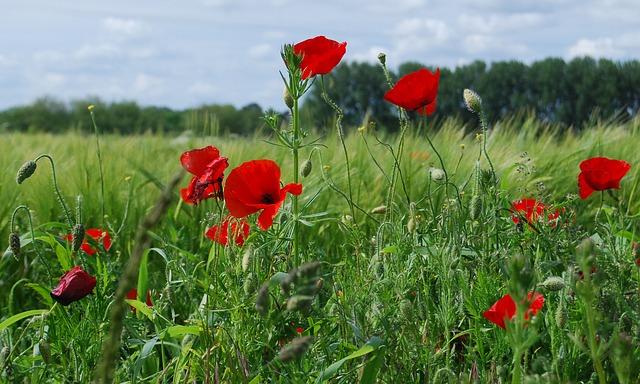 Free field poppy red poppy papaver rhoeas flower field