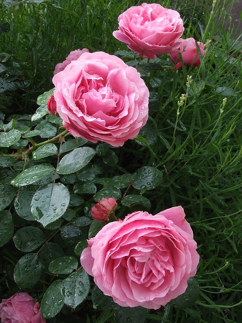 Free roses pink roses garden roses flowers