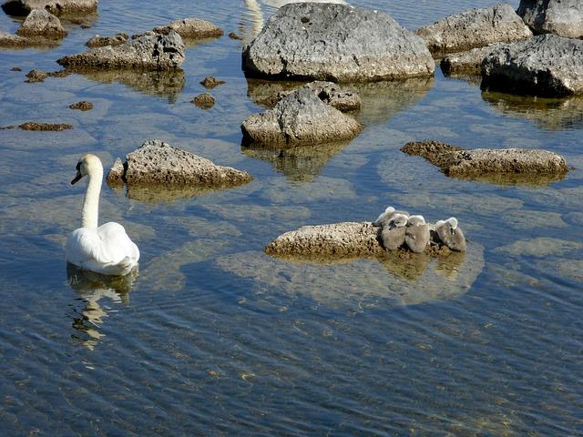 Free swan signet water bird beautiful
