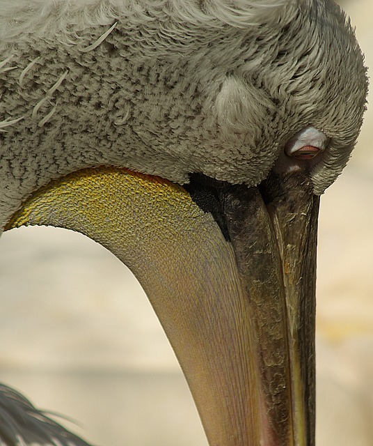Free Photos: Pelican head beak eye bird | Somaly