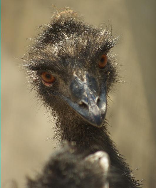 Free emu portrait zoo