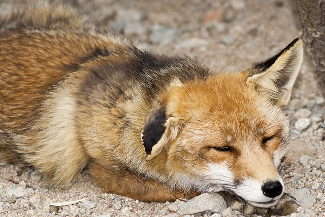 Free fox mammal animal nature asleep animals omnivore