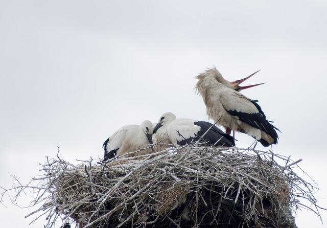 Free stork white stork birds nest bird feathers