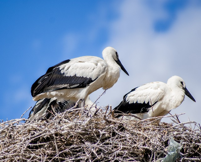 Free stork white stork nest bird birds peak feathers