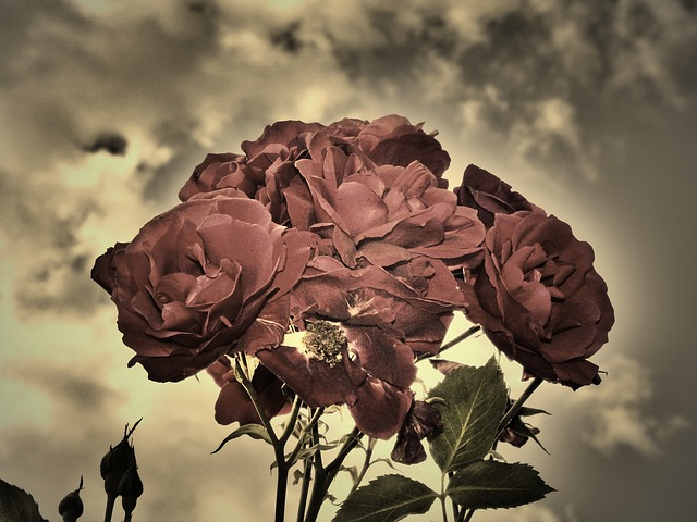 Free roses sepia duo strong flowers love sky dramatic