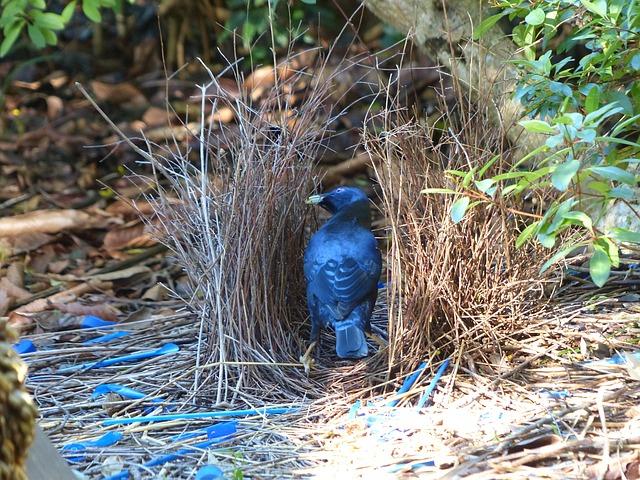 Free satin bowerbird bird ptilonorhynchus violaceus
