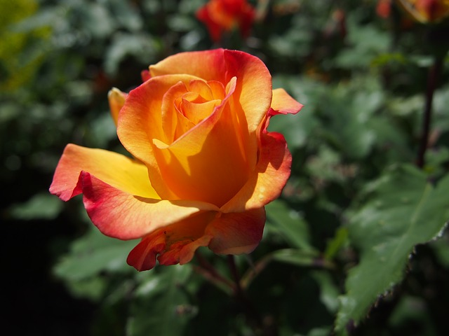 Free flower rose yellow beautiful fragrance plant