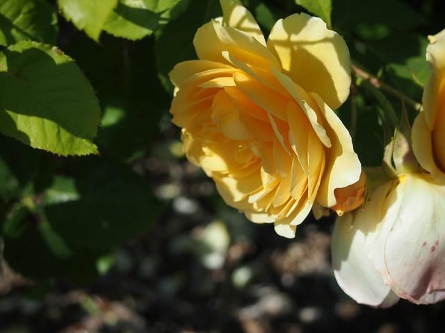 Free seattle flower rose yellow