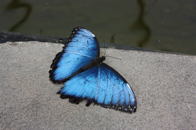 Free butterfly butterflies flying insect blue insect