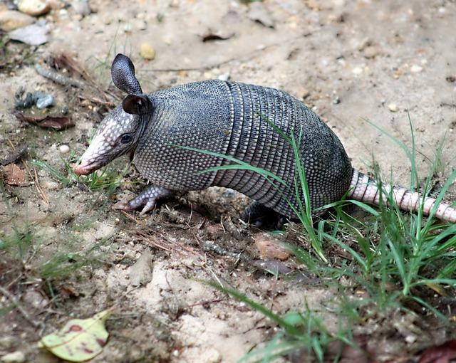 Free armadillo nine-banded armadillo dasypus novemcinctus