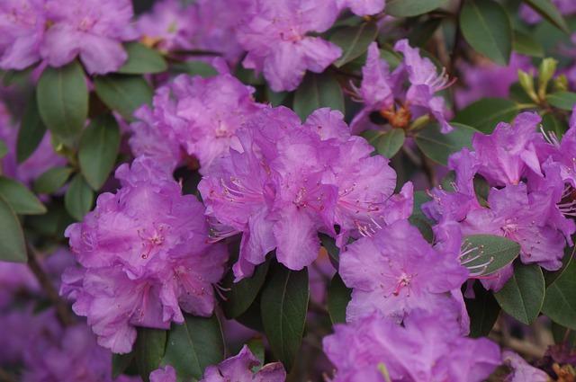 Free purple flower purple flower bush spring