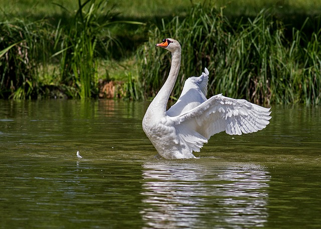 Free                swan water bird animal nature swim swans waters