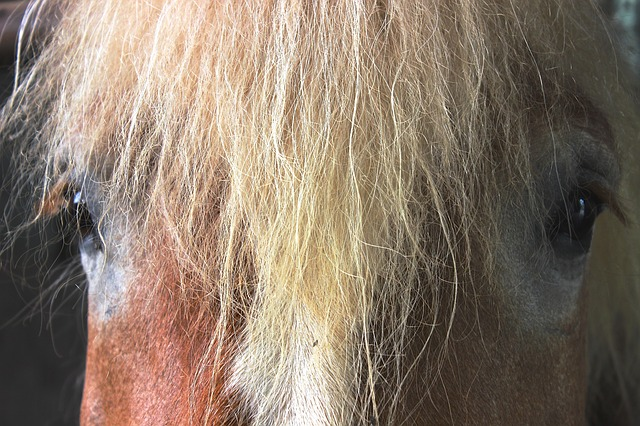 Free horse kaltblut horse head mane brown view