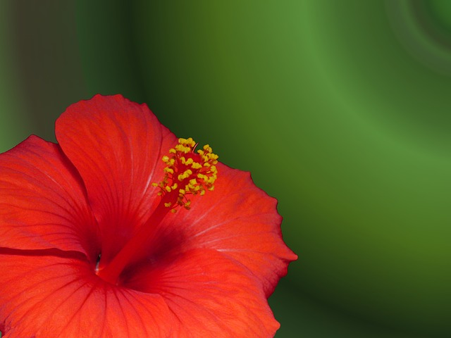 Free marshmallow hibiscus flower plant mallow red