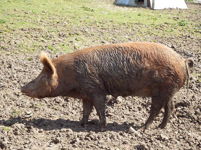 Free pig animals cute rural farm animal mud national