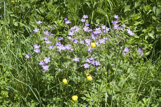 Free flower meadow summer summer meadow flowers colorful