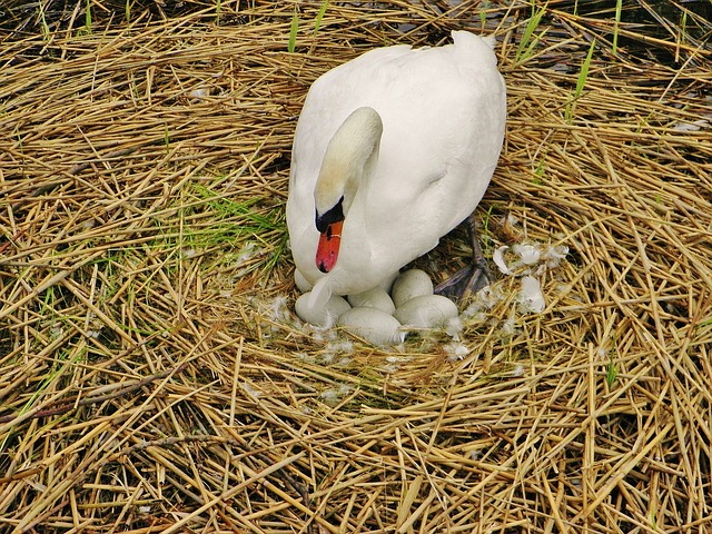 Free swan sweltering swan nest swan eggs egg hatch