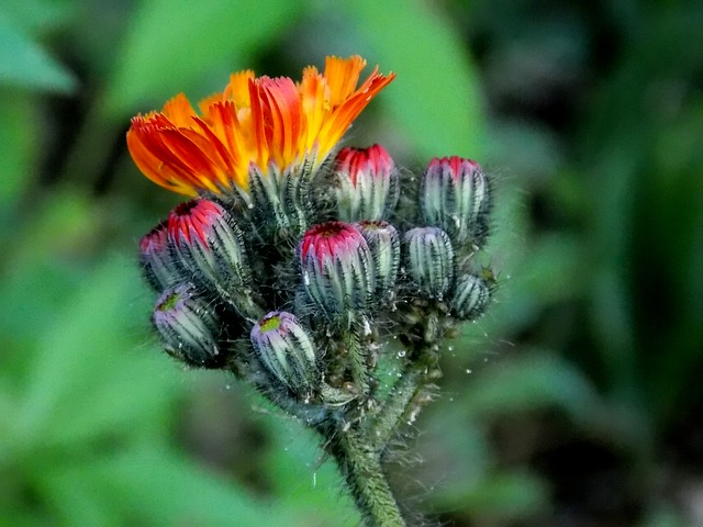 Free hawkweed composites red orange hawkweed flower