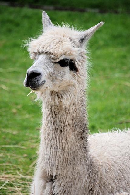 Free llama mammal fluffy llama glama camelid wool