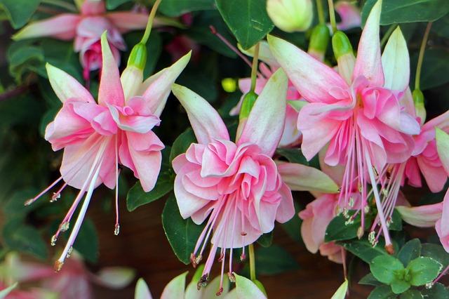 Free fuchsia close balcony plant flower