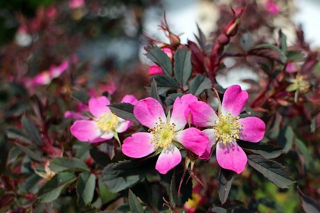 Free               wild rose rose pink flower plant flowers