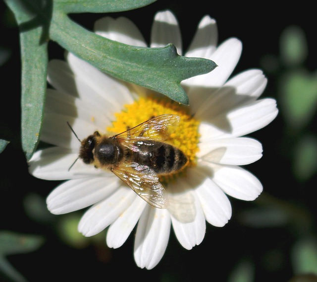 Free bee flower pollen nectar margarithe close