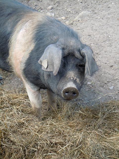 Free pig livestock animal world