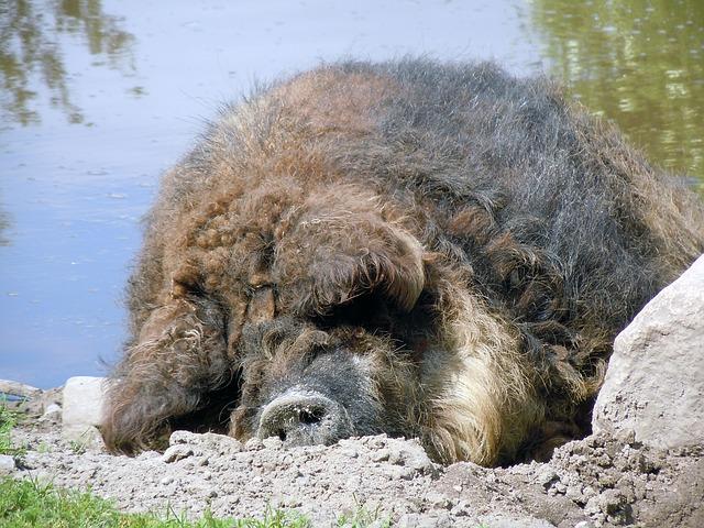 Free wool pig pig sleeping