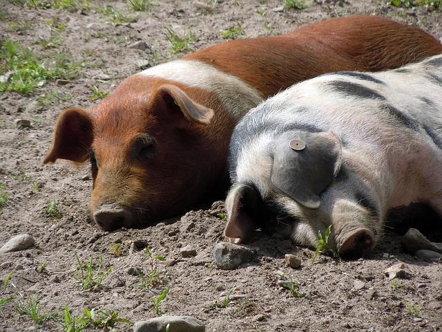 Free piglet pig snuggle