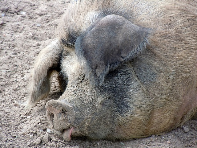 Free pig pig's head close livestock