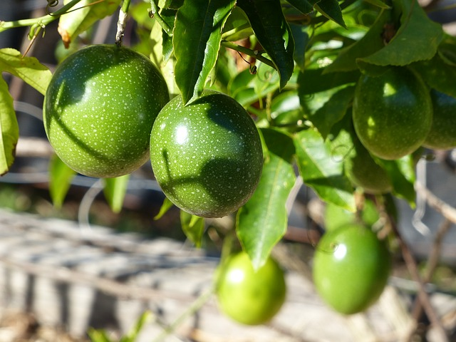Free passionfruit vine green