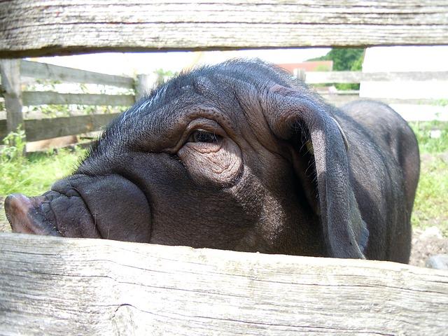 Free chinese pig mask close livestock pig