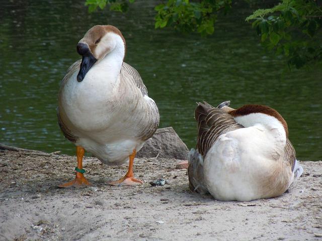 Free poultry ducks waterfowl