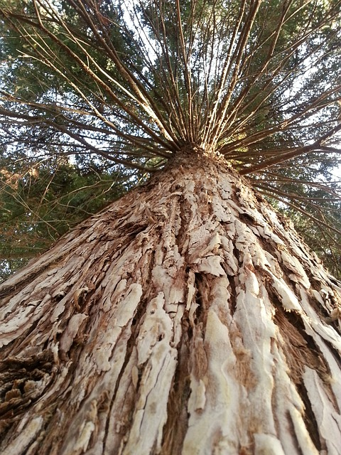 Free tree big redwood forest trees beautiful nature