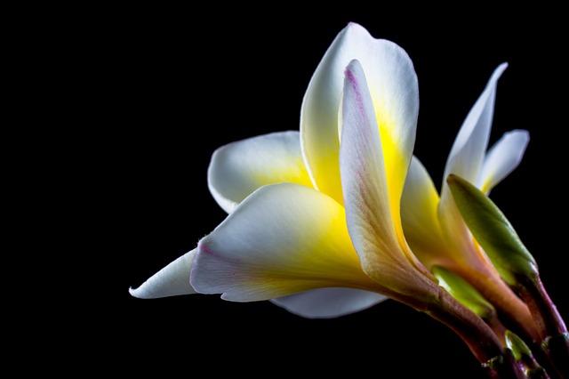 Free flower white yellow frangipani plumeria