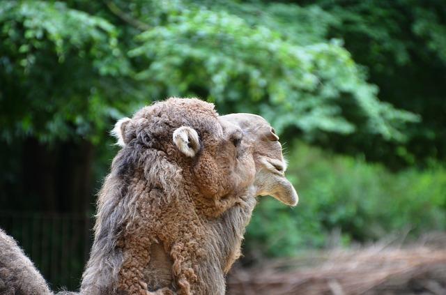 Free camel dromeda animal