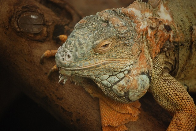 Free iguana lizard scaly herbivorous saurian head