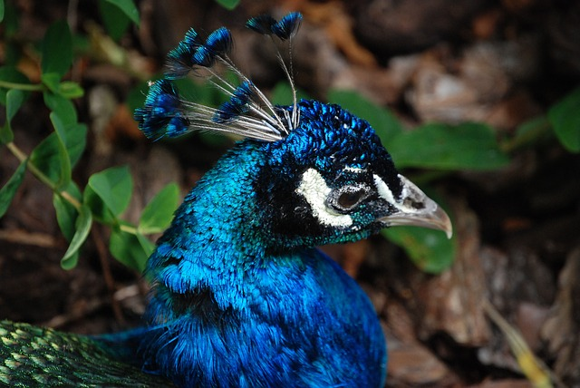 Free peacock tail feathers head bird elegance feathers