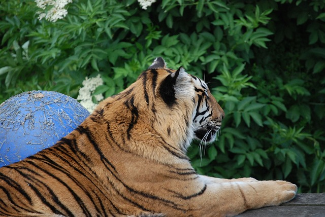 Free tiger big cat feline close-up beautiful resting