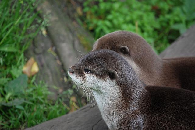 Free otters close-up head mammal zoo wildlife