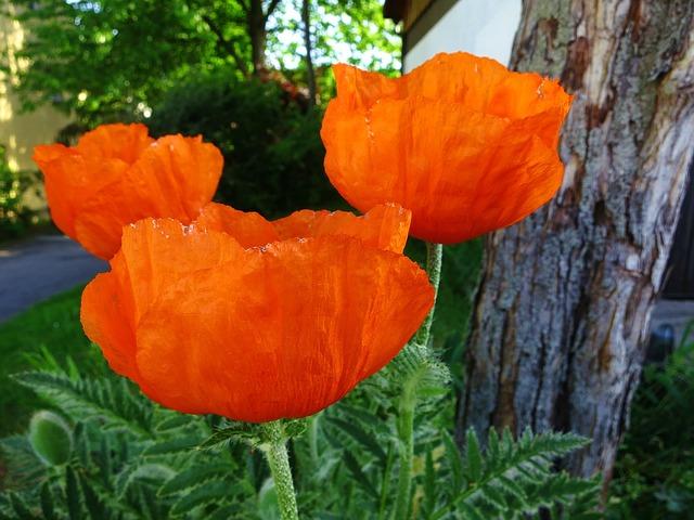 Free flower poppy spring nature