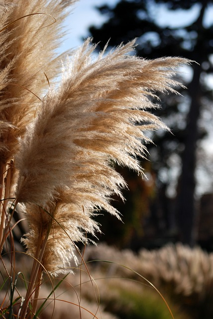 Free pampas ornamental grass natural close-up feathery