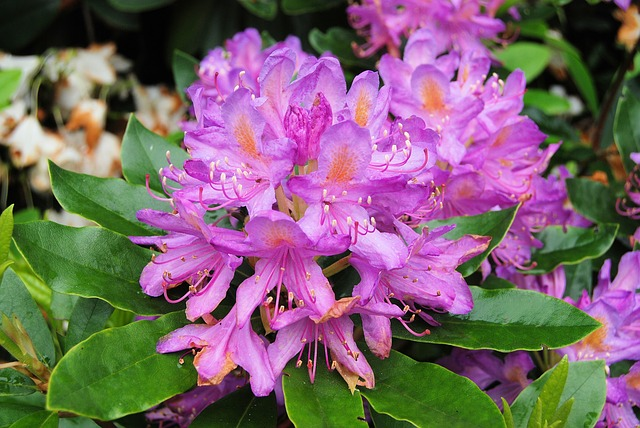 Free rhododendron flowers shurb evergreen bush
