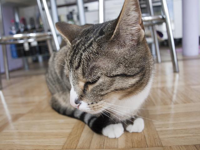 Free cat hangover pet mieze cat face head young cat