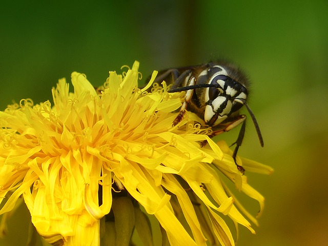 Free dandelion wild flower nursing wasp black white