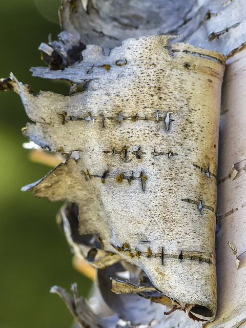 Free birch peeling bark torn nature forest tree wood
